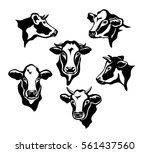 cows cattle portraits... | Shutterstock .eps vector #561437560