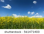 yellow flowering rapeseed field ... | Shutterstock . vector #561471403