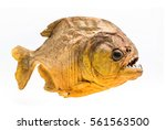 piranha fish on isolated with... | Shutterstock . vector #561563500