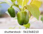 close up green bell pepper or... | Shutterstock . vector #561568210