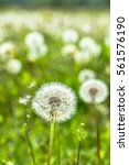 spring meadow with dandelion... | Shutterstock . vector #561576190