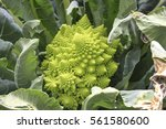 Romanesco Broccoli  Or Roman...