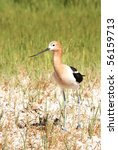 Small photo of American Avocet, Recurvirostra americana, Family Recurvirostridae, Stilts and Avocets - Summer Lake Oregon