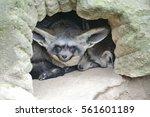 angry bat eared fox  otocyon... | Shutterstock . vector #561601189
