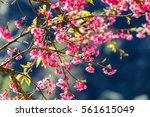 close up branch of pink cherry... | Shutterstock . vector #561615049