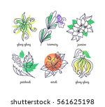 fragrance herbs' illustrations  ... | Shutterstock .eps vector #561625198