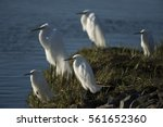 A Group Snowy And Great Egrets...