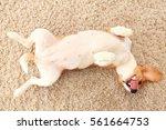 Dog Rest On Carpet On His Back. ...