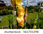 Yellow Gladiolus In The Garden
