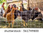 Chickens Behind Fence