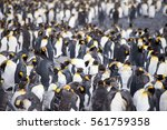A Colony Of King Penguins In...