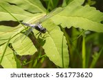 Small photo of Male Chalk Fronted Corporal (Ladona julia) dragonfly rests in sunlight on the leaves of a plant near the water.