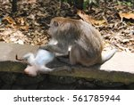 Small photo of The adult female sits on the stone and collects fleas have little monkeys,which lies belly-up