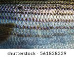 Striped Bass Scale Pattern