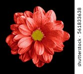 Small photo of Surreal dark chrome red gerbera flower macro isolated on black