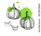 hand drawn garlic. can be used... | Shutterstock .eps vector #561842806