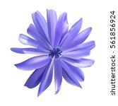 chicory purple flower vector... | Shutterstock .eps vector #561856924