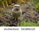 little owl | Shutterstock . vector #561886120