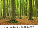 Beech Tree Forest In Early...