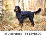 Gordon Setter Hunting Dog...