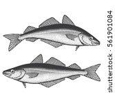 coalfish  saithe  coley pollock ... | Shutterstock .eps vector #561901084