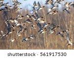 Migratory Eurasian Wigeon  Ana...