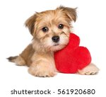 Stock photo lover valentine havanese puppy dog lying with a red heart isolated on white background 561920680