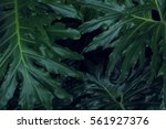 real tropical leaves background ... | Shutterstock . vector #561927376