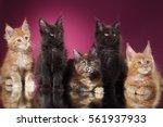 Maine Coon Kitten Portrait On A ...