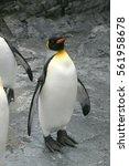 Small photo of Penetration Penguin ,Scientific name isAptenodytes forsteri