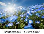 nemophila  flower field  and... | Shutterstock . vector #561965500