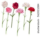 Stock vector set carnation flowers white pink and red carnation isolated on white vector illustration 562021084