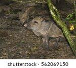 the collared peccary  pecari... | Shutterstock . vector #562069150