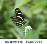 Zebra Longwing Butterfly ...