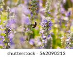a bee on lavender flower and... | Shutterstock . vector #562090213