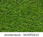 green leaf wall. natural fresh... | Shutterstock . vector #562092613