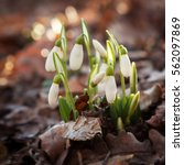 forest snowdrops sprouted... | Shutterstock . vector #562097869