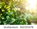baby bergamot fruits with...   Shutterstock . vector #562101478