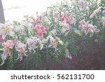 lily colorful flower garden. | Shutterstock . vector #562131700