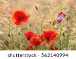 poppy field at sunset | Shutterstock . vector #562140994