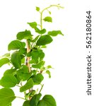 Small photo of Actinidia deliciosa plant on white background