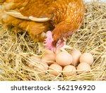 full body of brown chicken hen... | Shutterstock . vector #562196920
