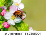 Springtime Blossoms With Bee O...