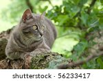 Spotted Blue Tabby Cat In A Tree