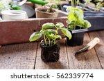 Seedlings Of Green Basil. Youn...