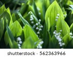lily of the valley  valley lily