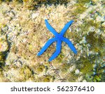Blue Starfish Linckia Laevigat...