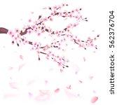 realistic sakura japan cherry... | Shutterstock .eps vector #562376704