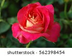 Stock photo red rose on the branch in the garden note select focus with shallow depth of field ideal 562398454