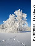 sunny winter day  rime on a... | Shutterstock . vector #562421308